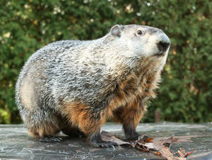 Groundhog day - Phil